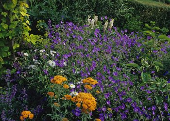 geranium achillea in late summer border planting scheme