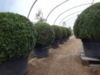 growing-yew-balls-on-the-nursery-for-garden-landscape-client