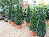 yew-pyramids-for-landscaped-garden