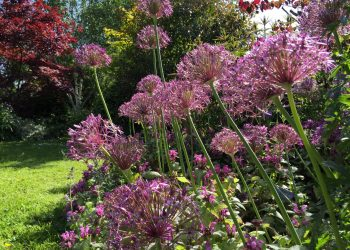 alliums in the garden during the summer